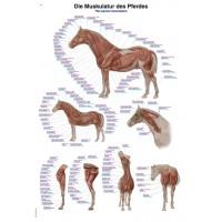Anatomisk plansch, häst muskulatur och skelett