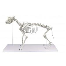 Anatomisk modell - Hundskelett naturlig storlek