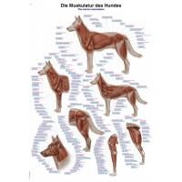 Anatomisk plansch, hundens muskulatur och skelett